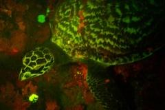 bioluminescent-turtle-1